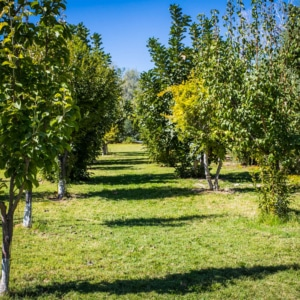 Fruit Orchard Picture